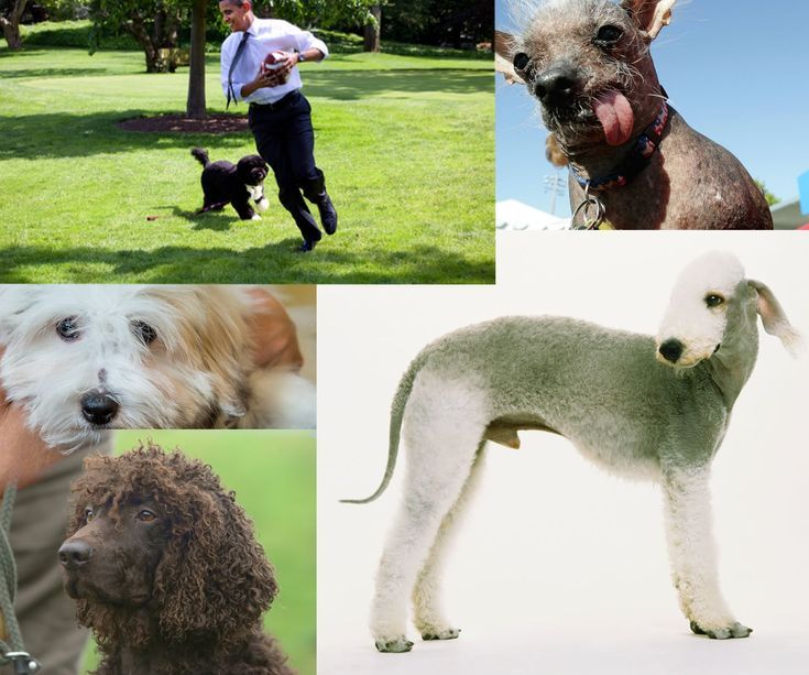 4 Dogs You Can Own (Even If You Have Asthma): Dogs For Your Asthma