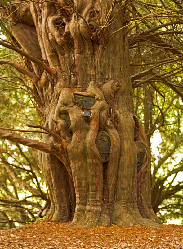 Magnificent tree trunk in the amazing Stowe Gardens in Northampton- it is approx 200-300 years old