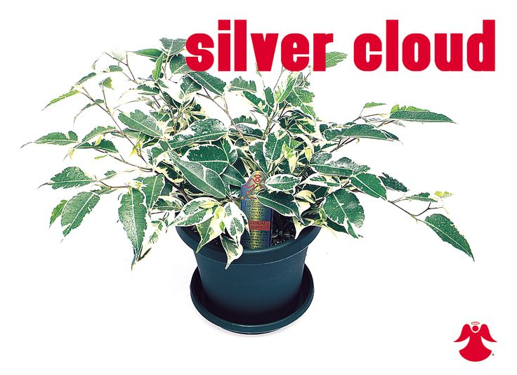 Ficus Silver Cloud. Ficus Benjamina is the backbone of most house ficus varieties. In nature this graceful tropical tree of dense growth, forming aerial roots, and with branches of somewhat pendant habit originates from India, Southeast Asia and Australia.