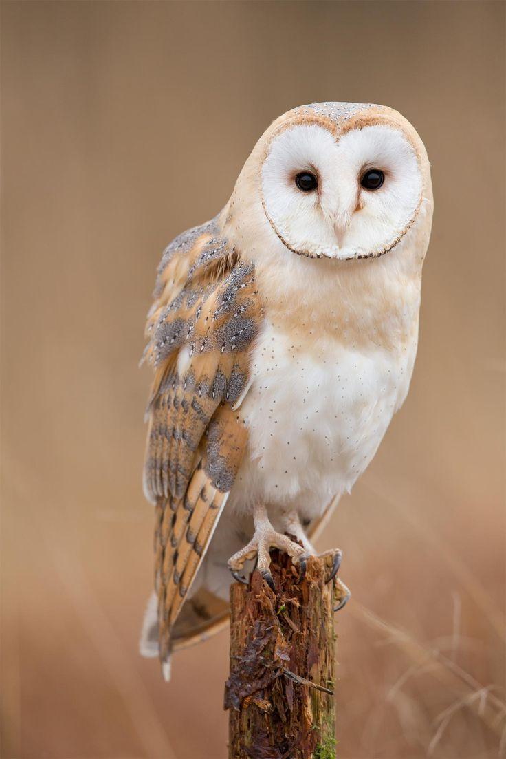 Effraie des clochers - Western Barn Owl - Lechuza común ...