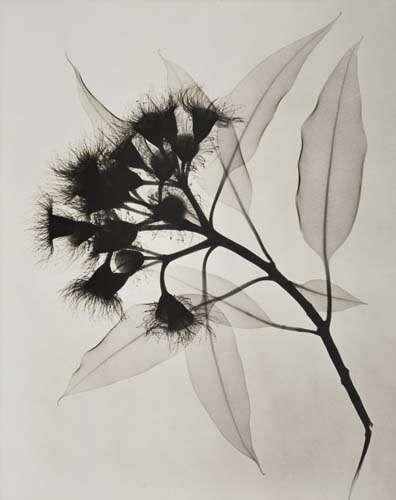 :: Dain L. Tasker / Eucalyptus . An X-Ray. 1932 ::