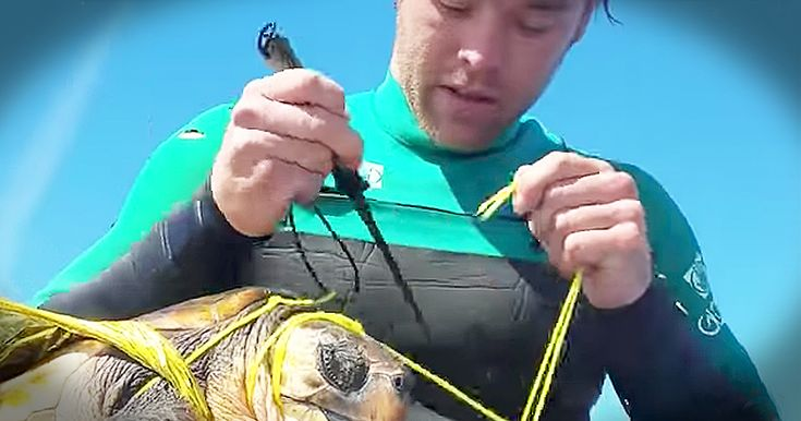 When this man on a jet ski spotted a turtle in need, he knew he had to do something.  So he jumped into the water and pulled the tangled turtle onto his jet ski. The turtle was caught in the trash left from a plastic balloon.  Thankfully, this man was able to cut the turtle free and return him to the ocean. God bless this Good Samaritan.