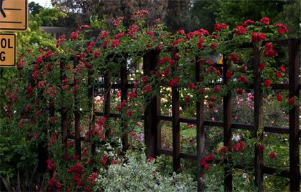 Attractive deer fence: Chevy-chase-rose-lattice-fence