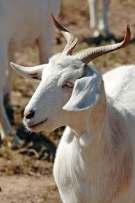 Goat with unusual horns.