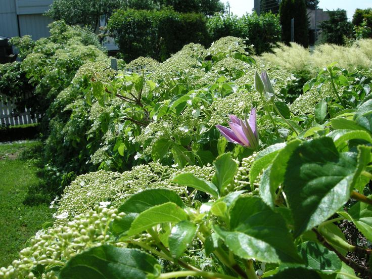 Blomstring i hekken! Et gammelt nettinggjerde har fått besøk av klatrehortensia, klematis og villvin.