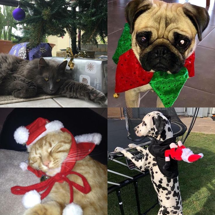 Just some of the awesome Christmas get-ups our clients have been rocking!       #yourfamilyvet #yfv #pinkladies #veterinarian #vetnurse #vetlyf #vetlife #vetclinic #pets #petcare #pethealth #pethealthcare #wimmera #horsham #cats #catsofinstagram #dog #dogsofinstagram #christmas #costumes