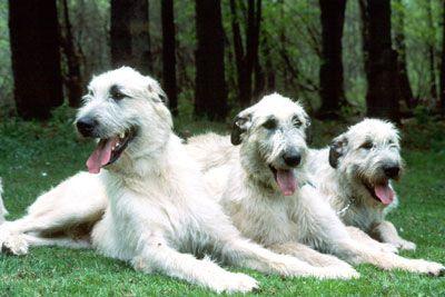 white irish wolfhound