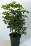 Ming Pre Bonsai Tree Plant   Polyscias   Indoor   4 Pot