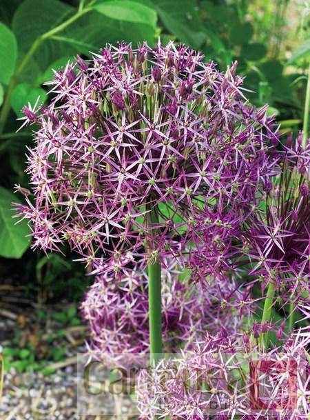Allium Christophii has a big fat flower head which looks great long after the bloom has faded.