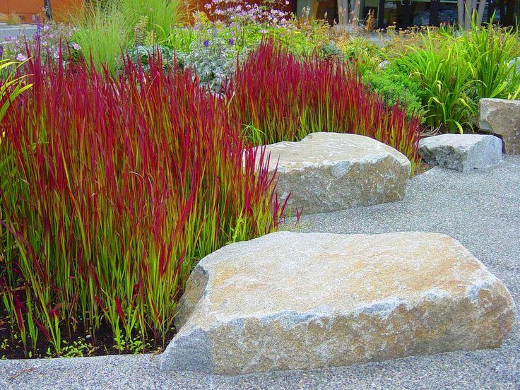 Red ornamental grass trawa czerwona red baron imperata for Ornamental grasses red color