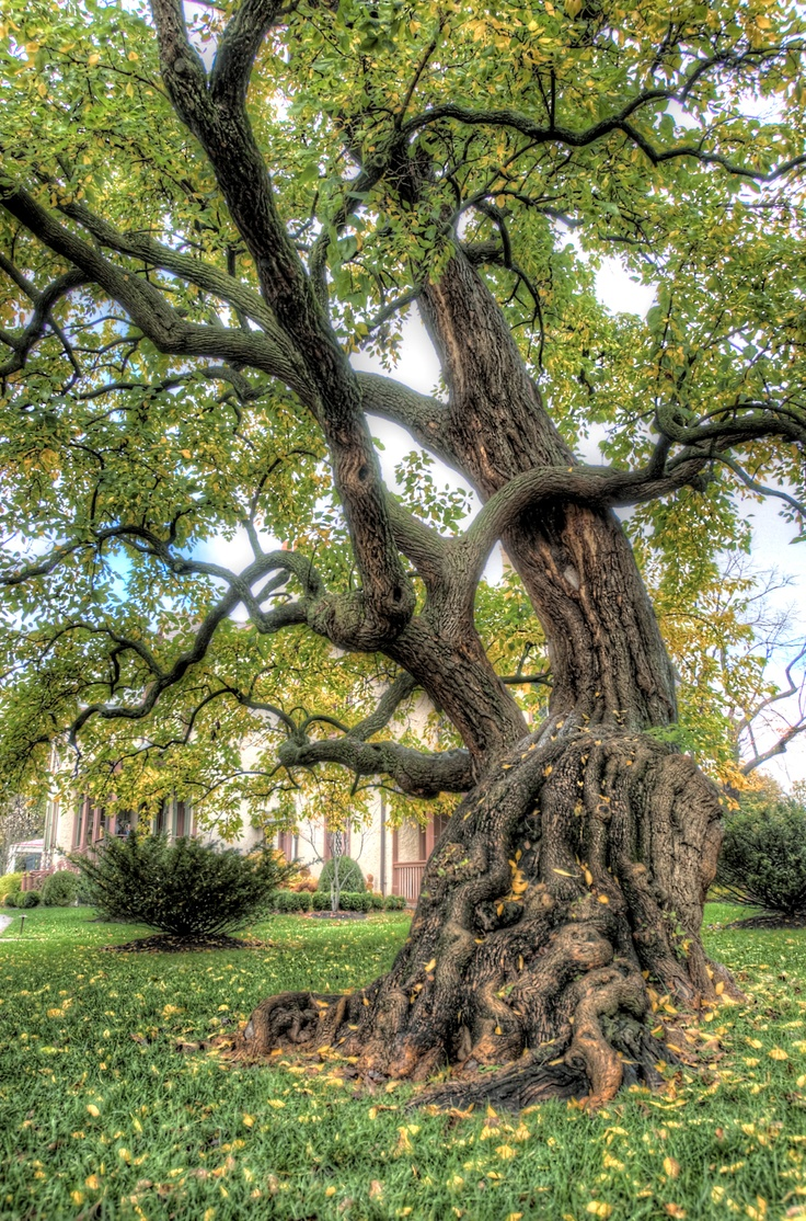 the osage orange tree Articles about native trees, trees for wildlife, and trees in history, by genevieve l netz, an interested observer.