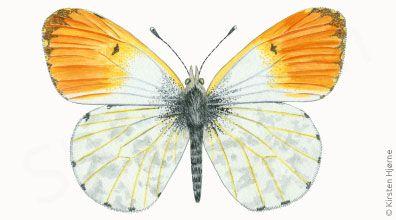 Aurora - Anthocharis cardamines - Orange Tip