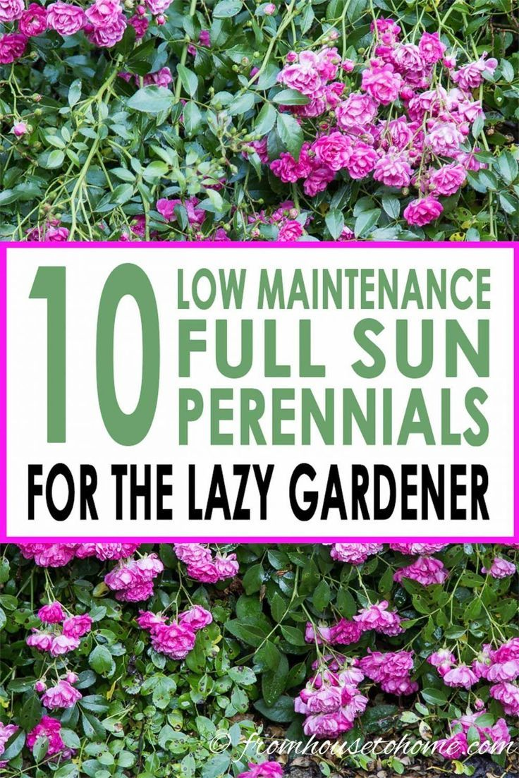 Full Sun Perennials 15 Beautiful Low Maintenance Plants That Thrive In The Sun Gardening From House To Home In 2020 Full Sun Perennials Full Sun Garden Sun Perennials