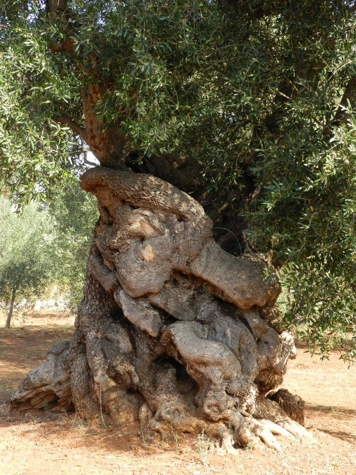 Olive tree 700 years old, ostuni south Italy. It looks like its going unwrap itself and speak - www.extravirginshop.com