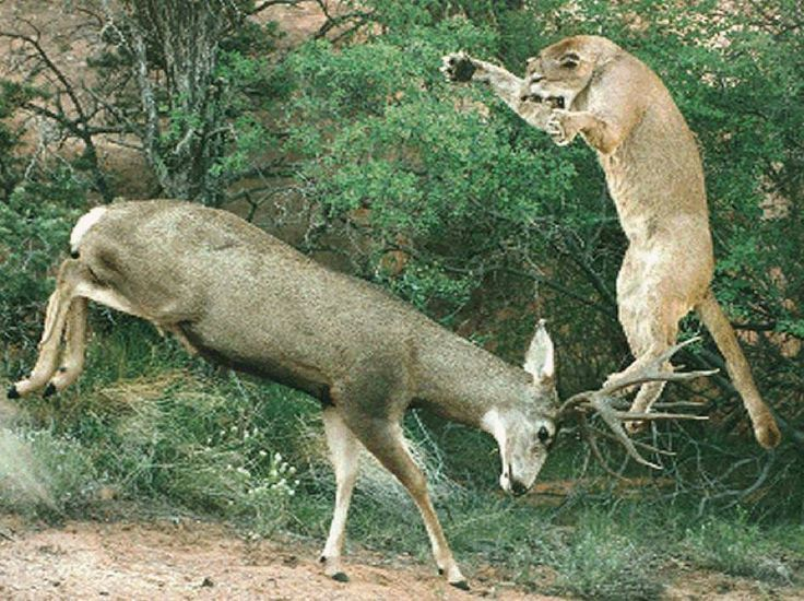 elk cougar women Idaho cougar hunting outfitters and mountain lion hunting guides bearpaw outfitters offer the best guided cougar hunts in top cougar hunting areas of idaho with experienced cat hunting hounds.