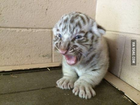 Ferocious White Tiger