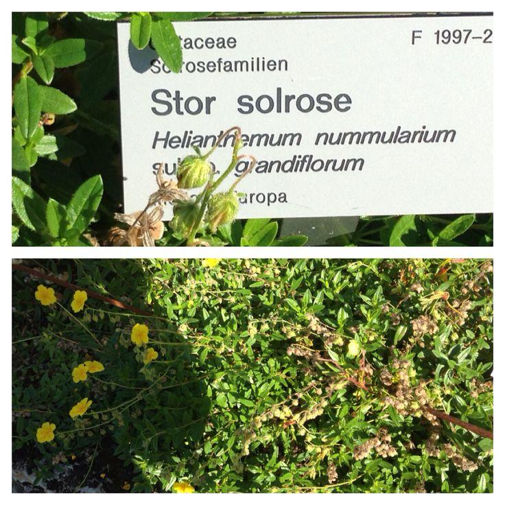 Stor solrose