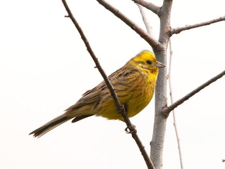 """Trznadel. Niewielki ptaszek o charakterystycznej barwie. Pod koniec zimy można zobaczyć go na czubkach drzew i liniach energetycznych. Albo rozpoznać po śpiewie. Nasłuchujcie: """"di di di di dieh""""!"""