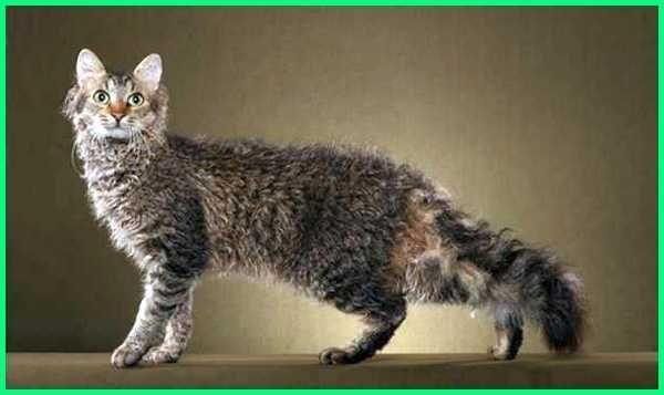Jenis Kucing Yang Bulunya Tidak Mudah Rontok Dunia Fauna Hewan Binatang Tumbuhan Hewan Cornish Rex Kucing