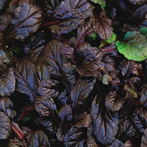 20 Ajuga reptans Mahogany - Ground Cover - Twenty Live Fully Rooted Perennial Plants by Hope Springs Nursery - Bugleweed $46.70