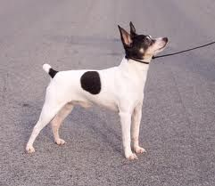 The Toy Fox Terrier is easy to groom, though grooming is usually noticed as unneeded on account of how brief the hairs are (beneath a centimetre in length most of the time).