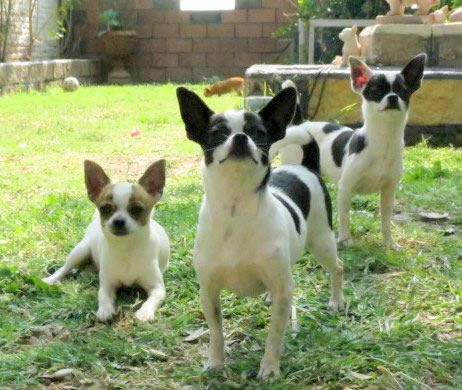 Chihuahuas cabeza de manzana: Doggies Stuff, Chihuahualov, Chihauhaus