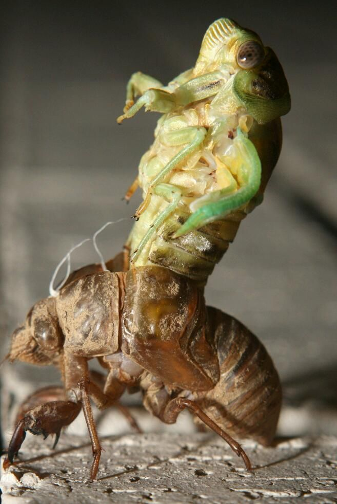 molting Cicada: A large homopterous insect with long transparent wings, occurring chiefly in warm countries. The male cicada makes a loud shrill droning noise after dark by vibrating two membranes on its abdomen.