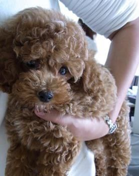 Toy poodle at rehbergerspuppyluv.com