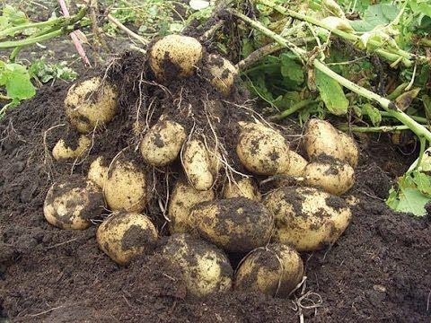 Большой урожай картофеля. Часть 1 - YouTube
