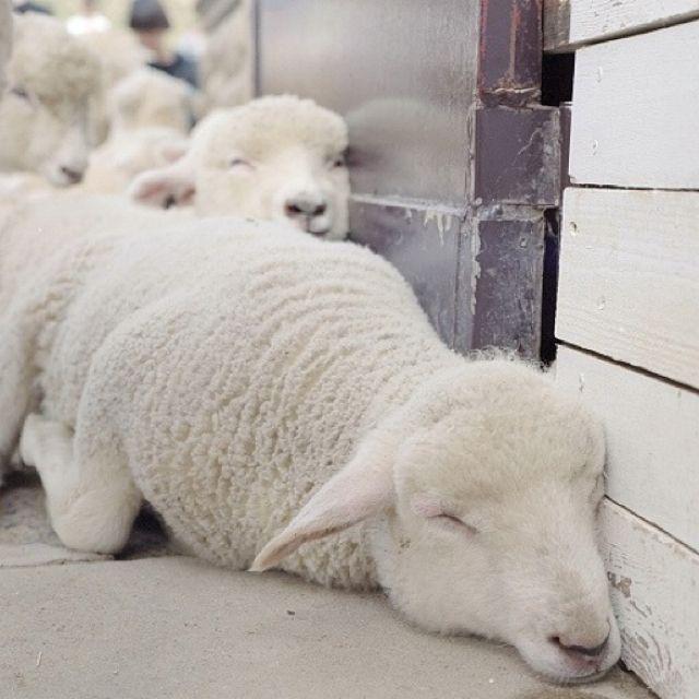 White sheep sleeping: Sleepy Time, Baby Lamb, Animal Baby, Baby Baby, Counted Sheep, Baby Animal, Naps Time, Sweet Dreams, Sleepy Sheep