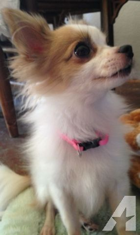 17 Best Ideas About Chihuahua Mix On Pinterest Adorable