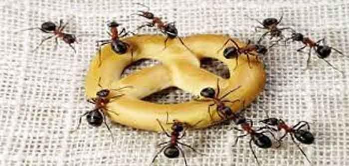 <p>As formigas combatem-se eficazmente com produtos químicos à venda no mercado, mas cada vez mais, há pessoas adeptas de produtos naturais no combate a estes seres. Para preparar um remédio caseiro que afasta as formigas para longe da sua habitação, coloque 150 gramas de cravo-da-Índia num litro de água, durante …</p>