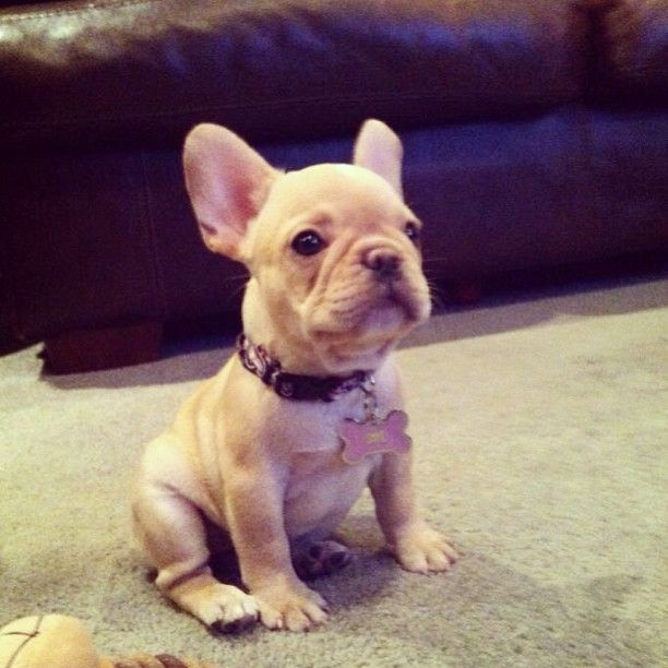 french bulldog puppies new england best 25 mini french bulldogs ideas on pinterest french 6976