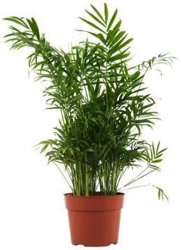 Neanthe Bella Palm Plant Soil Requirements  sc 1 st  Pinterest & 16 best Indoor Plant Ideas images on Pinterest | Houseplants ... azcodes.com