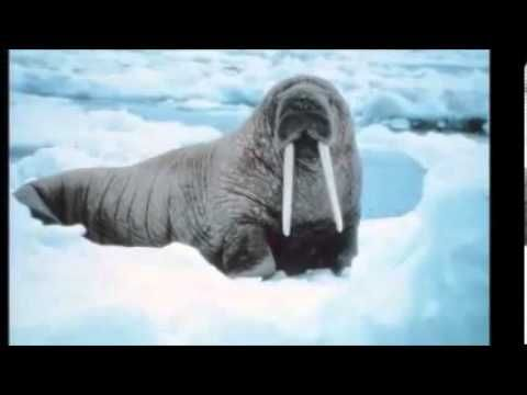 Les animaux du monde 3ème partie; les animaux de la banquise arctique - YouTube