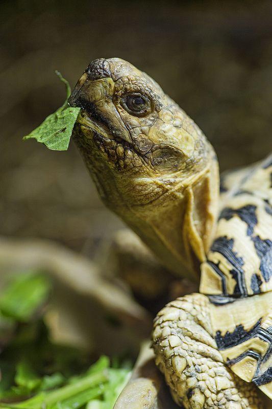 Leopard tortoise portrait