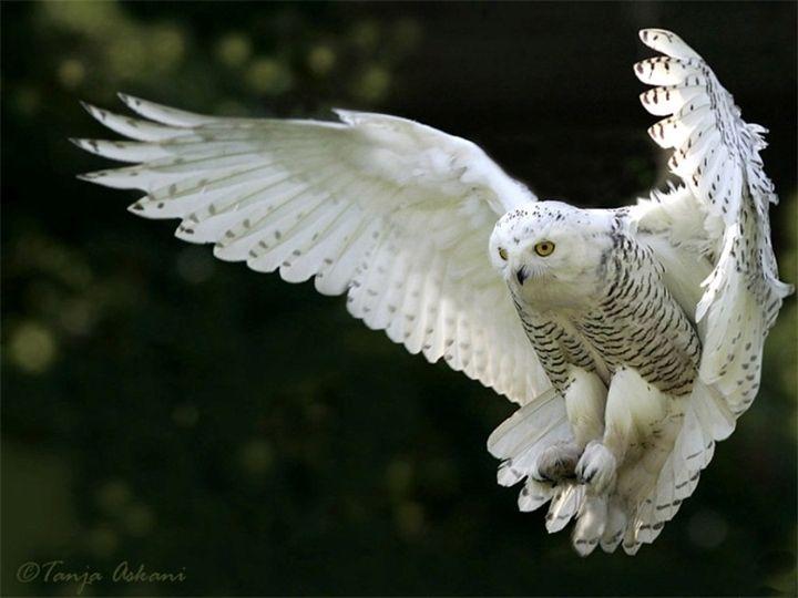 Букля — белоснежная полярная сова — VilingStore