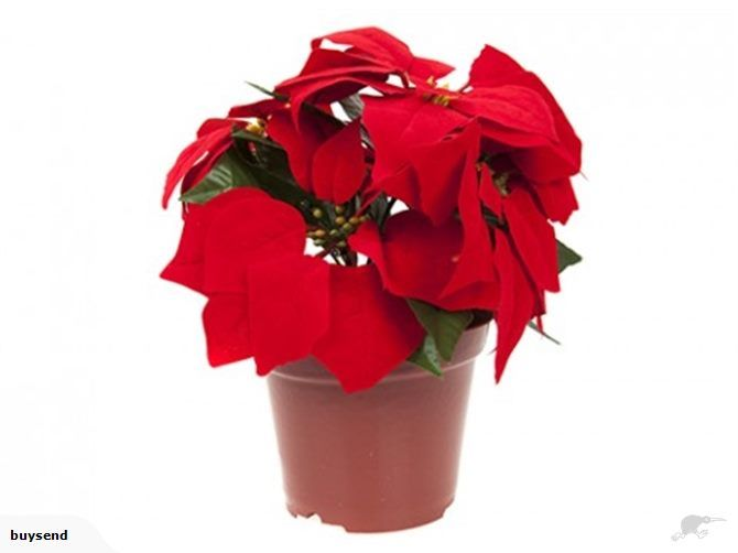 Christmas Decoration Poinsettia In Flower Pot | Trade Me