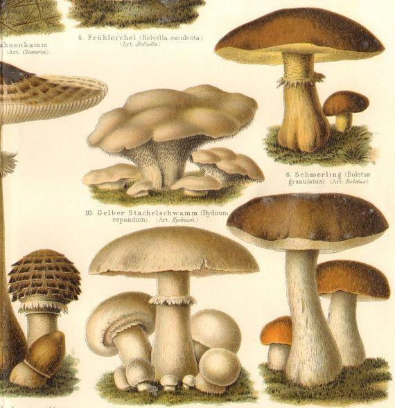 1904 Edible Mushrooms Saffron Milk Cap False by CabinetOfTreasures