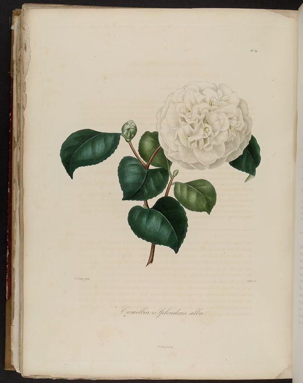 Image of Illustration of Camellia Splendens Alba ou Nannettiana ou Belle Nannette