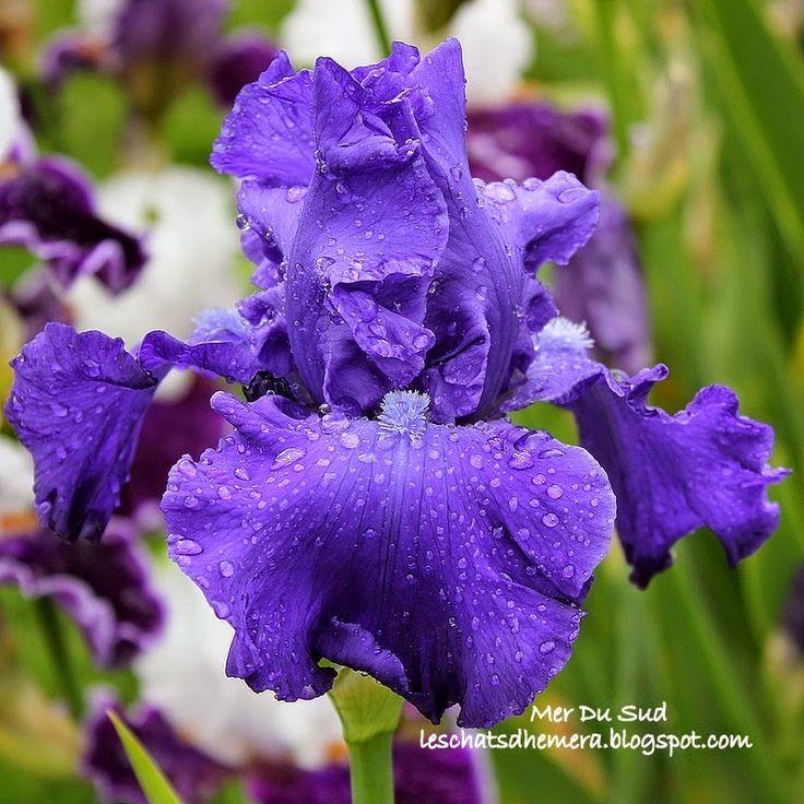 MER DU SUD Cayeux 1997 - M - 80 cm - parfum lys blanc Bleu moyen vif uni. Florifère (jusqu'à 11 boutons) et gracieusement ondulé. Excellente végétation. 2è concours Franciris 2000 Parents : 'Dusky Challenger' X 'Pledge Allegiance'