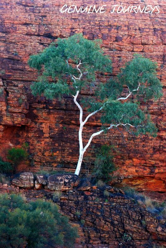 Photo Friday: Ghost gum in the Red Centre's King Canyon