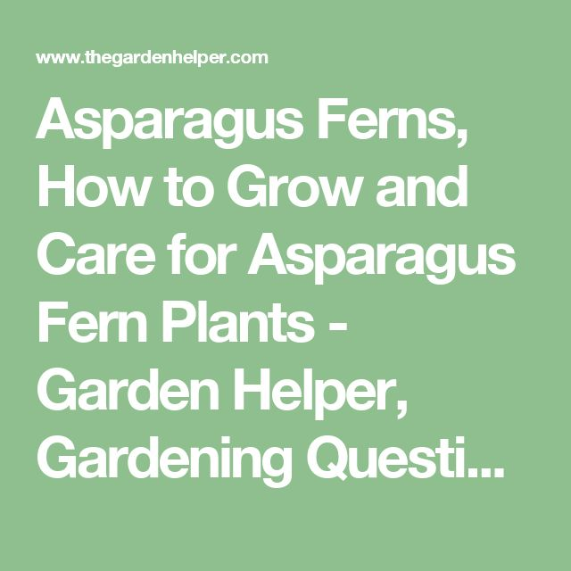 Asparagus Ferns, How to Grow and Care for Asparagus Fern Plants - Garden Helper, Gardening Questions and Answers