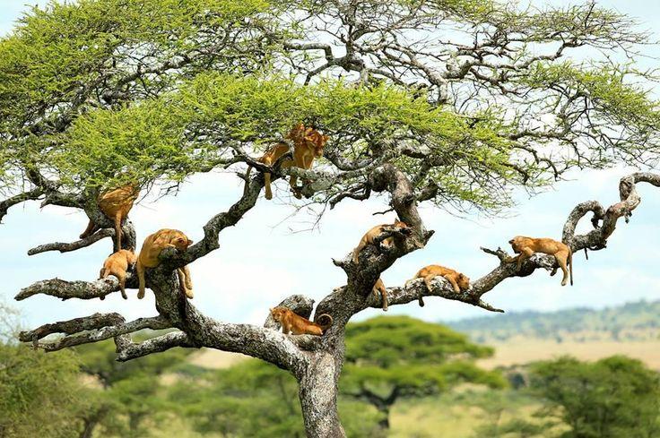 Climbing Tree Lion, Lake Manyara National Park, Tanzania http://africatriedandtested.com/destinations/manyara-national-park/