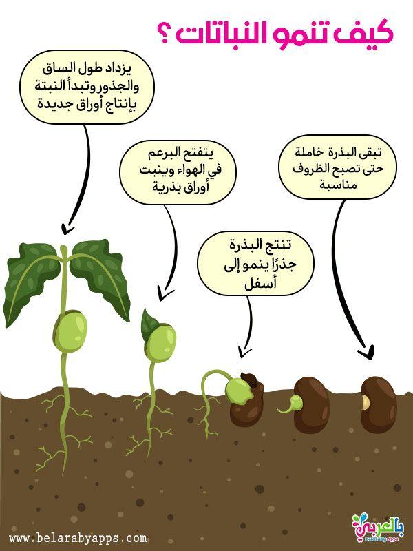 رسم دورة حياة النبات مراحل نمو النباتات بالصور انفوجرافيك بالعربي نتعلم School Posters Kids Learning Learning Arabic