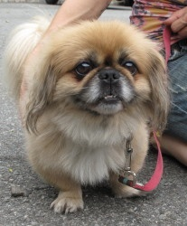 Scruffy is an adoptable Pekingese Dog in South Orange, NJ. Although he probably deserves a more dignified name, Scruffy is one of the dignified little dogs to pass through our doors in a very long tim...