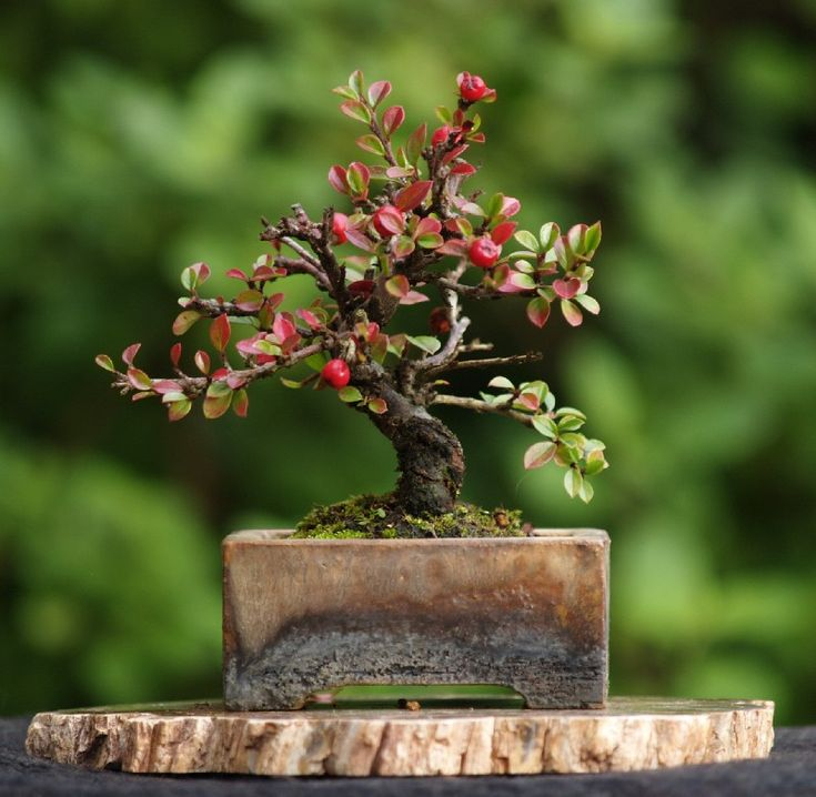 "Small Cotoneaster. Height 5"". Pot by Erin Pottery"
