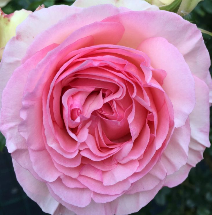 Light pink roses are associated with gentleness and admiration, and can also be used as an expression of sympathy.