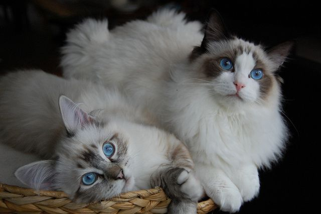 Ragdoll Kittens Finn Heston Do Darn Cute Ragdoll Kitten Ragdoll Cat Cat With Blue Eyes