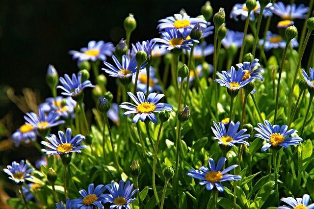 Bloemen, Struik, Bloesem, Tuin, Bloeien, Flora, Blauwe